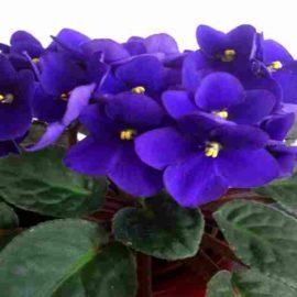 Violeta – Viola Odorata