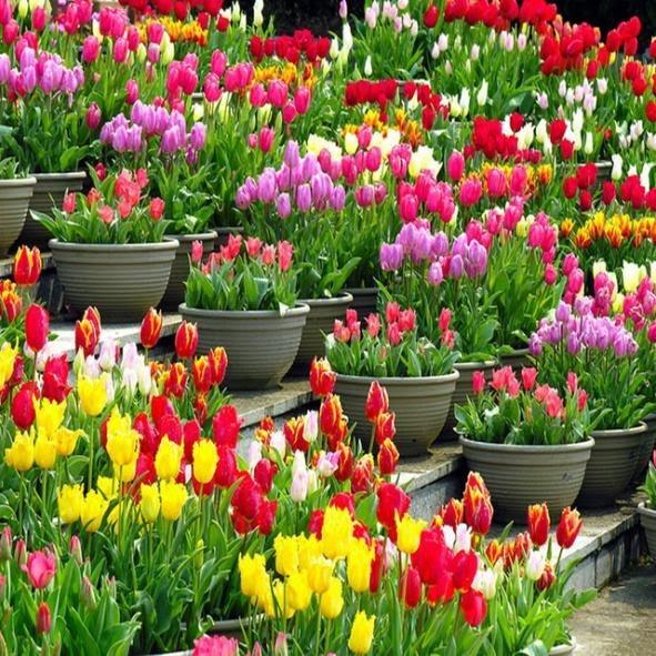 trasplantar un tulipan