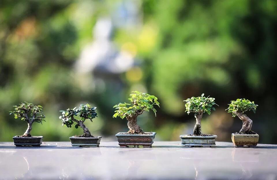 todo sobre el bonsái