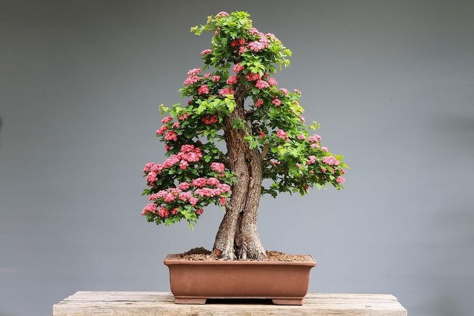 cuidado de los bonsái