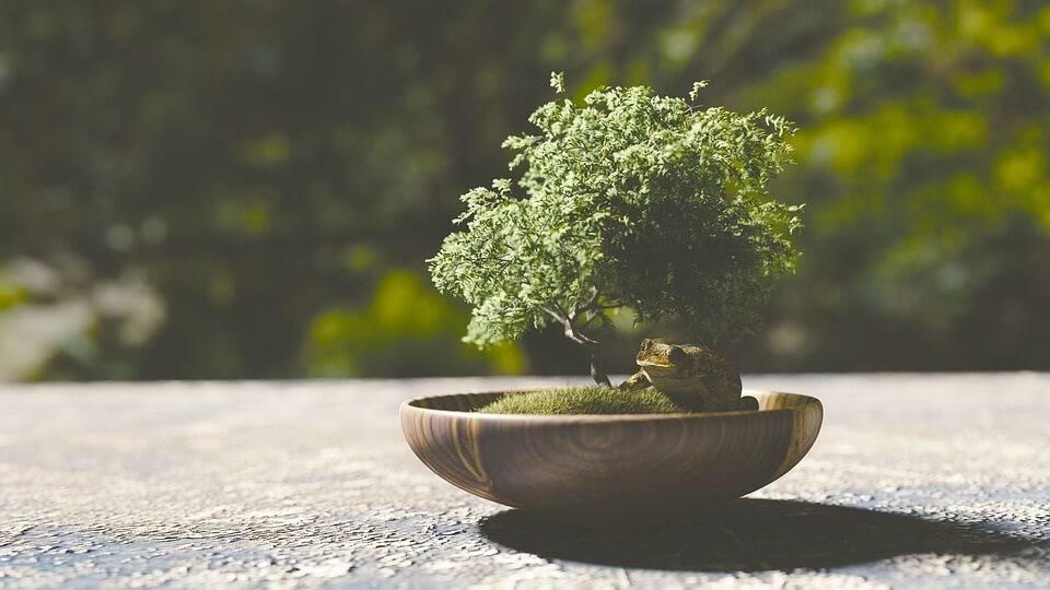 como trasplantar un bonsái