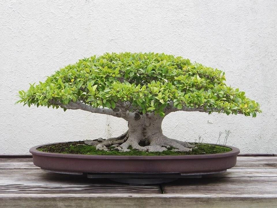 plagas en los bonsái