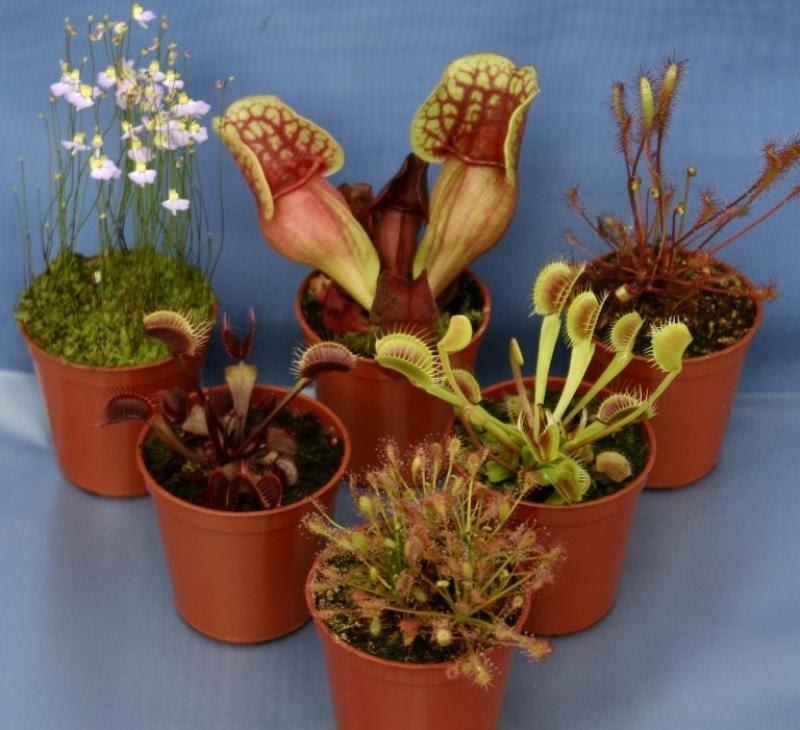 tipos de plantas carnivoras