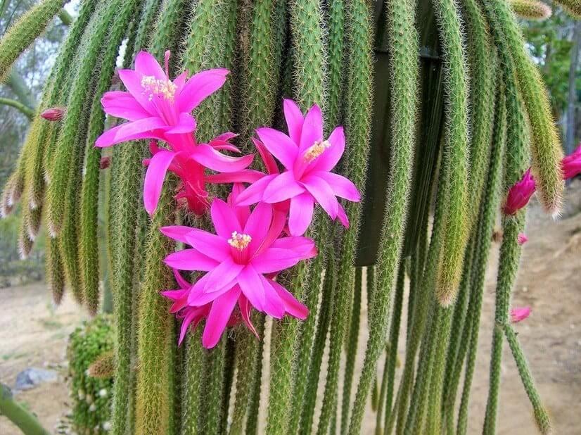 cactus cola de rata
