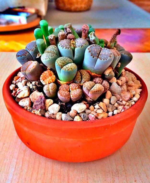 Cactus Piedras vivas (Lithops)