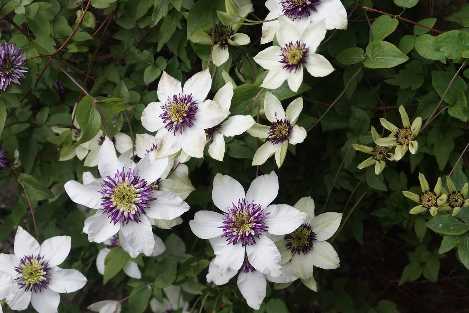 Clemátide – Clematis
