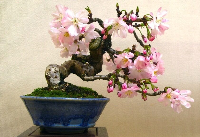 bonsai cerezo