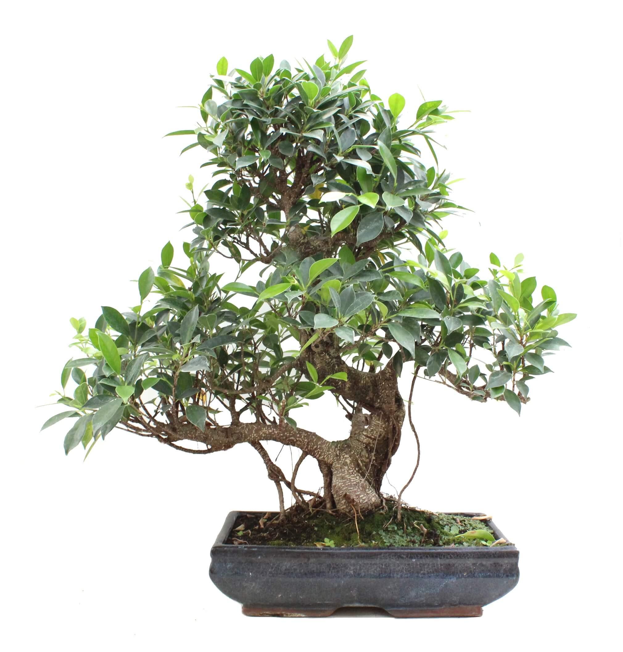 Bonsái de Ficus (Ficus Ginseng)