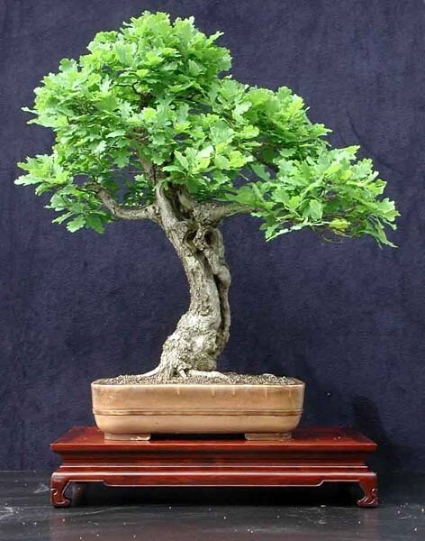 bonsai roble