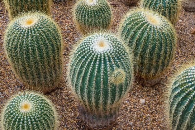 Cactus bola – Echinocactus grusonii