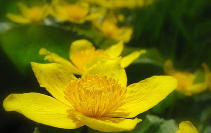planta calta amarilla