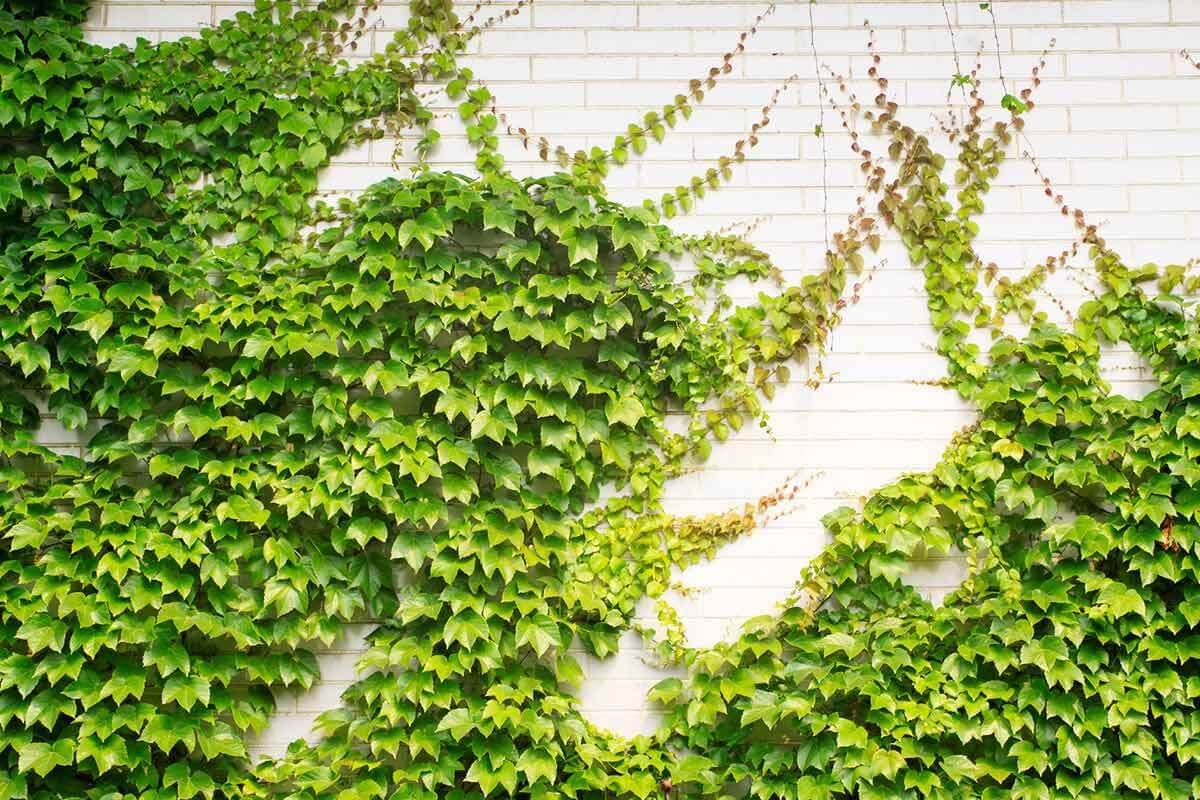 Higuera trepadora – Ficus pumila