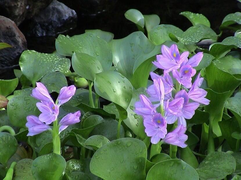 planta jacinto de agua