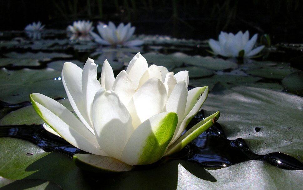 planta lirio de agua