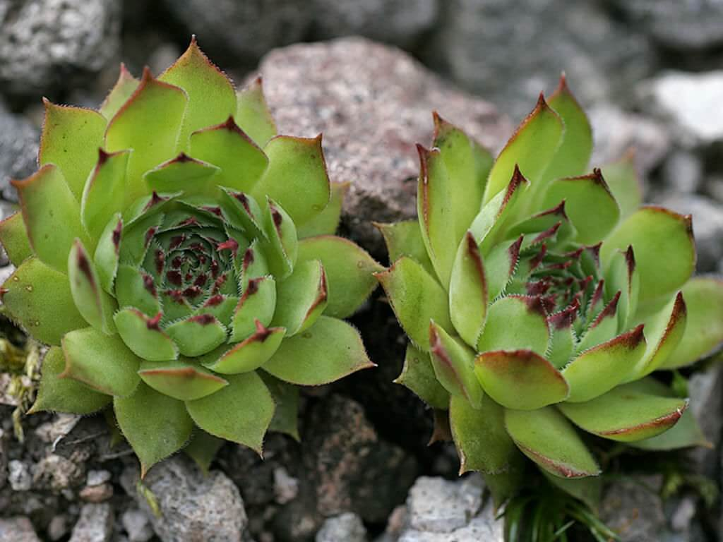 Siempreviva – Sempervivum tectorum